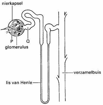 Excretie nieren